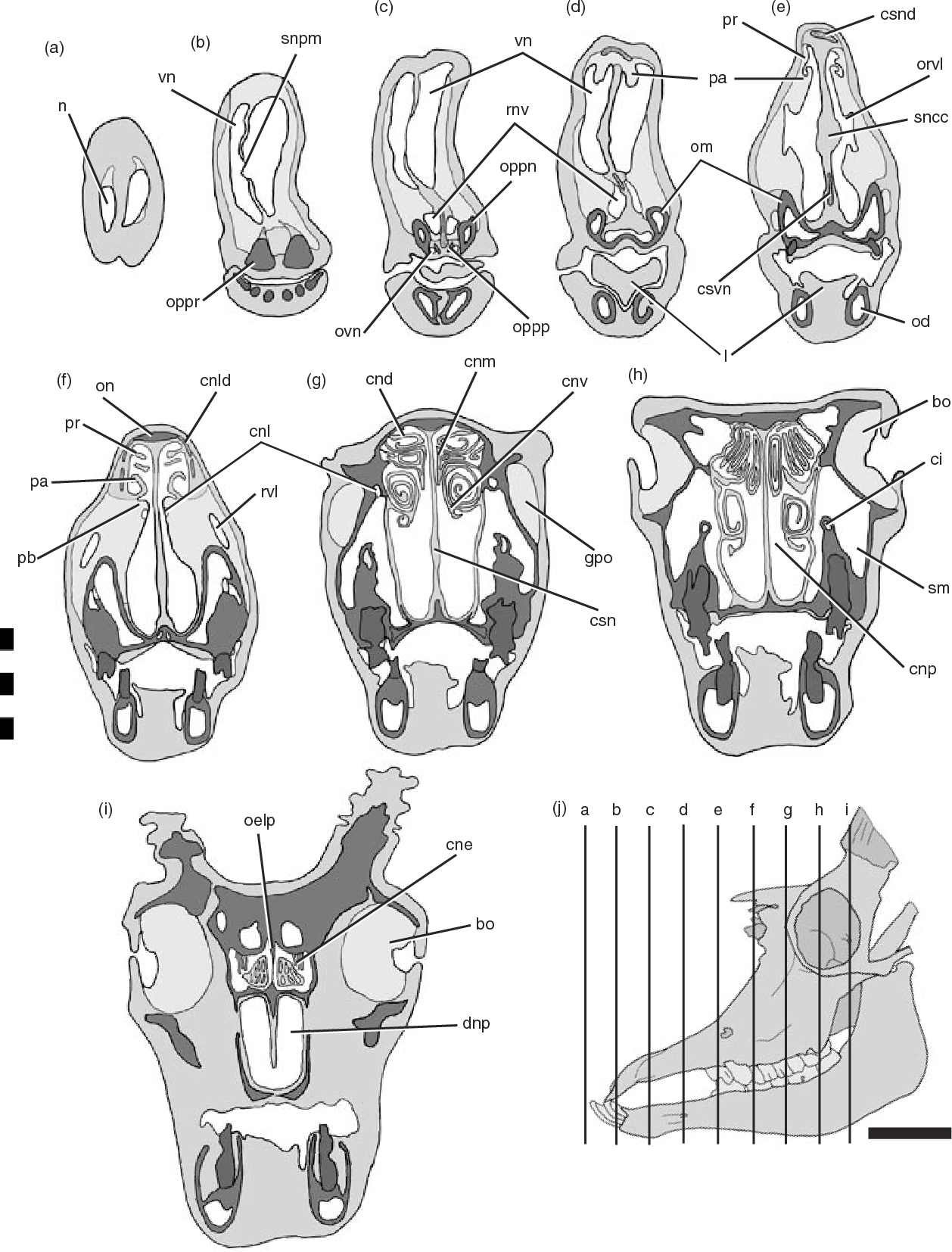 Figure 4 From Case Studies In Novel Narial Anatomy 3 Structure