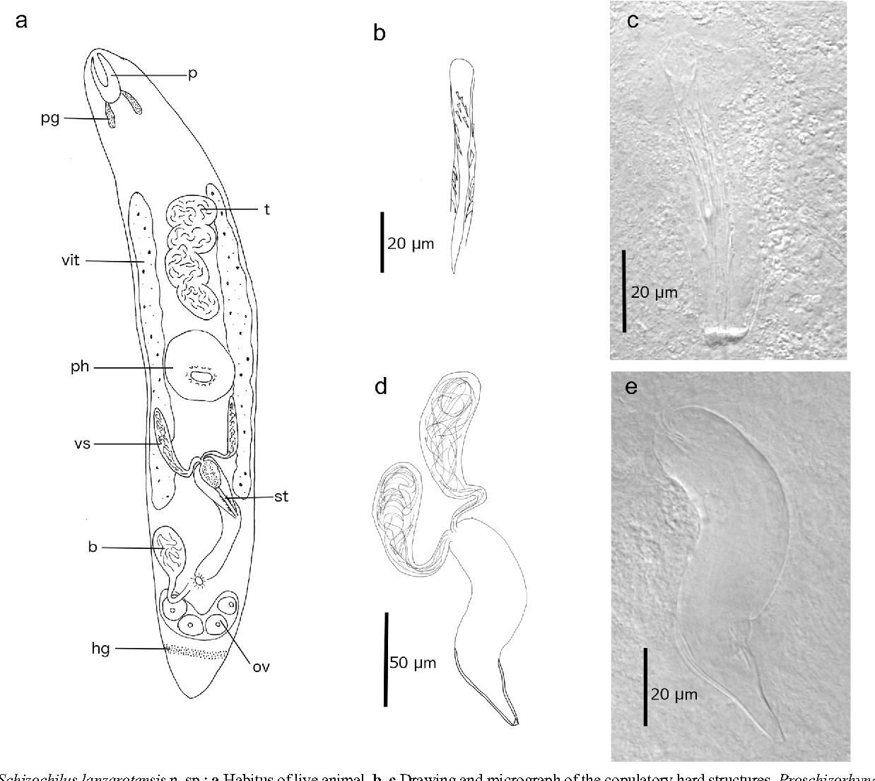 Schizorhynchia platyhelminthes rhabdocoela of lanzarote canary figure 7 pooptronica Images