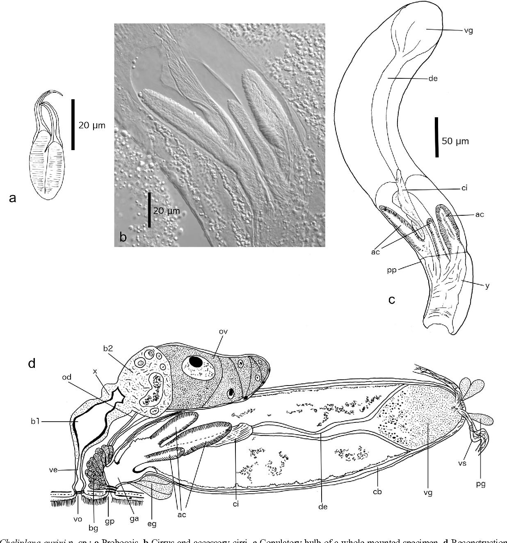 Schizorhynchia platyhelminthes rhabdocoela of lanzarote canary figure 1 pooptronica Images