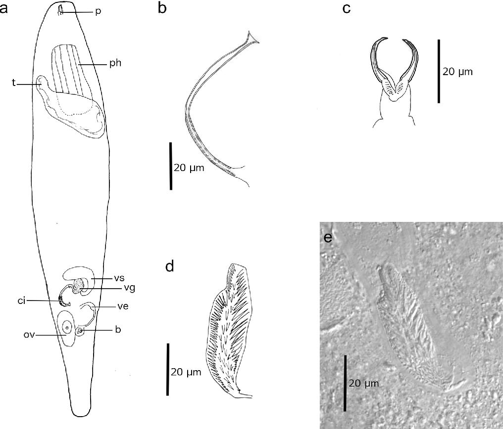 Schizorhynchia platyhelminthes rhabdocoela of lanzarote canary figure 2 pooptronica Images
