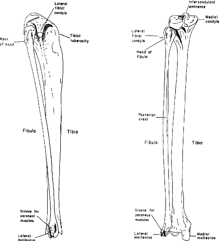 Gross anatomy of the hindlimb skeletal system of theGalago ...