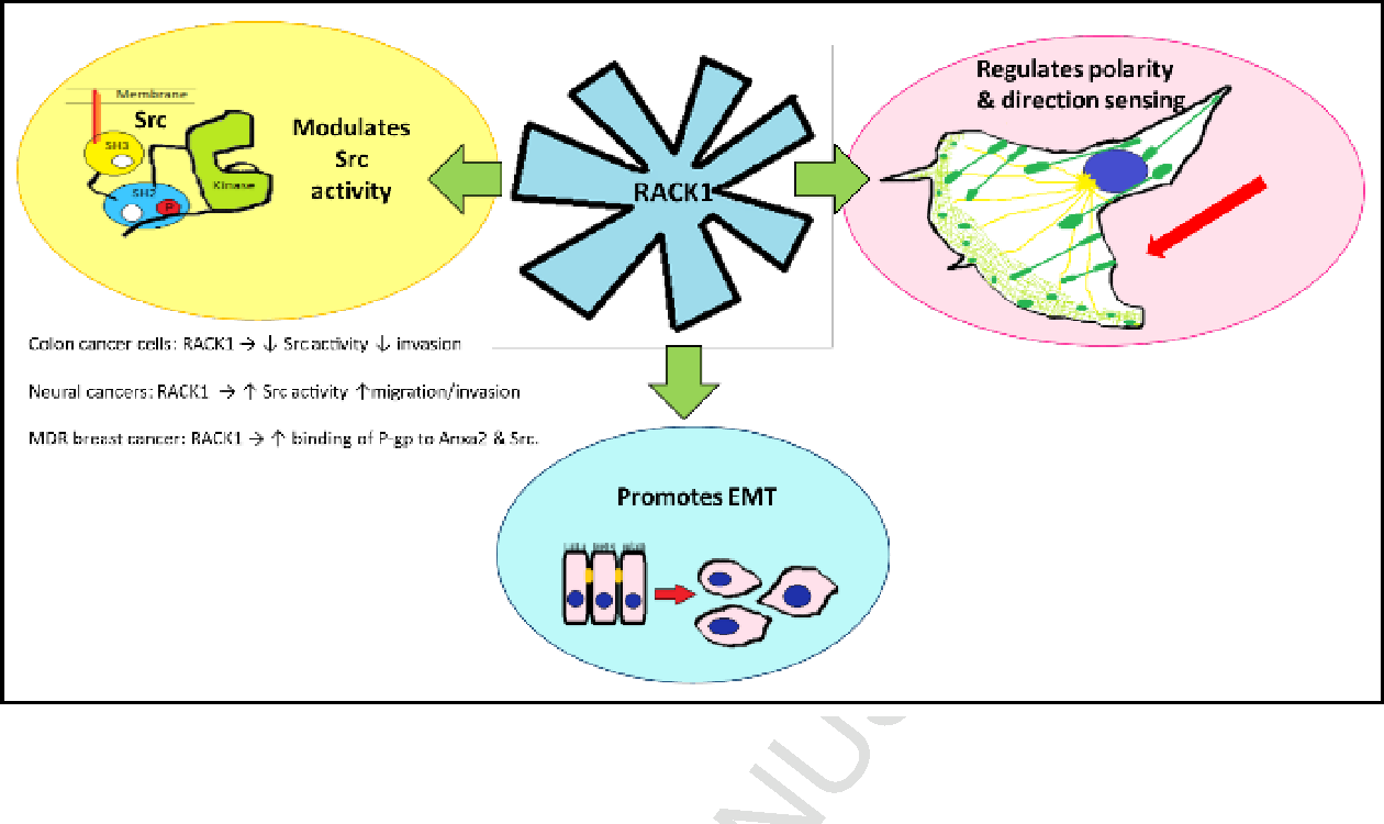 Roles for RACK1 in cancer cell migration and invasion  - Semantic