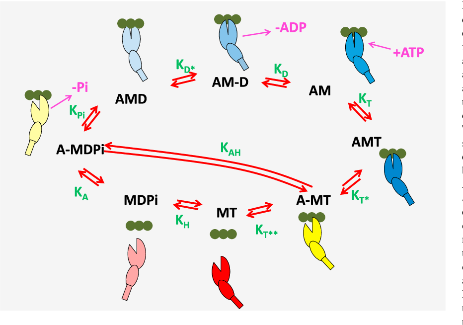 Figure 1 From Modeling The Actinosin Atpase Cross Bridge Cycle
