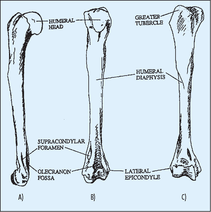 Figure 1 from The feline humerus. An anatomical study with relevance ...