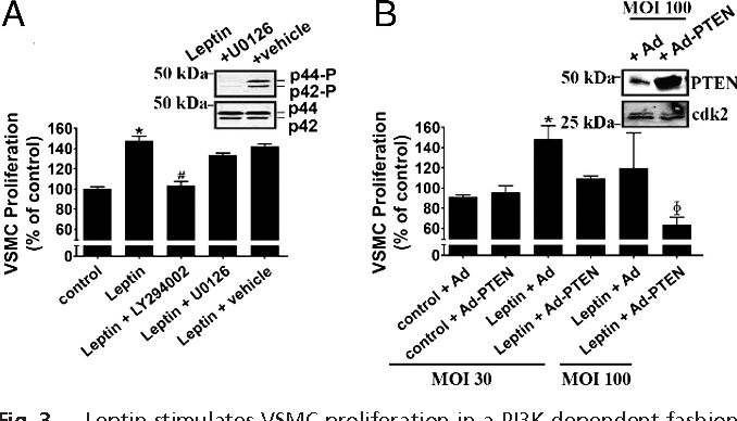 Fig. 3. Leptin stimulates VSMC proliferation in a PI3K-dependent fashion. VSMC proliferation was assessed by using an MTS-based assay in cells treated with LY294002 or U0126 (A) or infected with adenoviruses (B). Adenoviruses (Ad or Ad-PTEN) were infected at an MOI of 30 or 100 as indicated. Triplicate experiments were quantified; PBS-treated cells were used as control. *, P 0.001 compared with the control; #, P 0.001 compared with leptin alone; , P 0.001 compared with leptin plus Ad. Representative Western blots show phosphorylated MAPK (p44-P and p42-P, A Inset Upper) and total MAPK (p44 and p42, A Inset Lower) after treatment with U0126 or vehicle for 10 min and PTEN (B Inset Upper) and cdk2 (B Inset Lower) expression after infection with the indicated adenoviruses.
