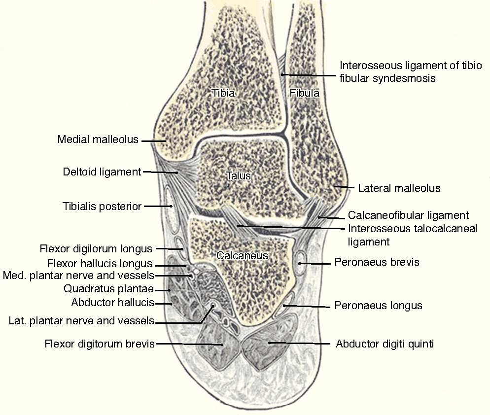 Figure 1 from Clinical anatomy of the ankle and foot. - Semantic Scholar