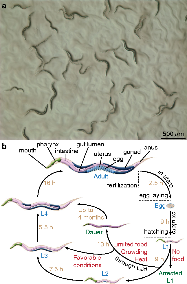 Figure 1 from The C. elegans dauer larva as a paradigm to study ...