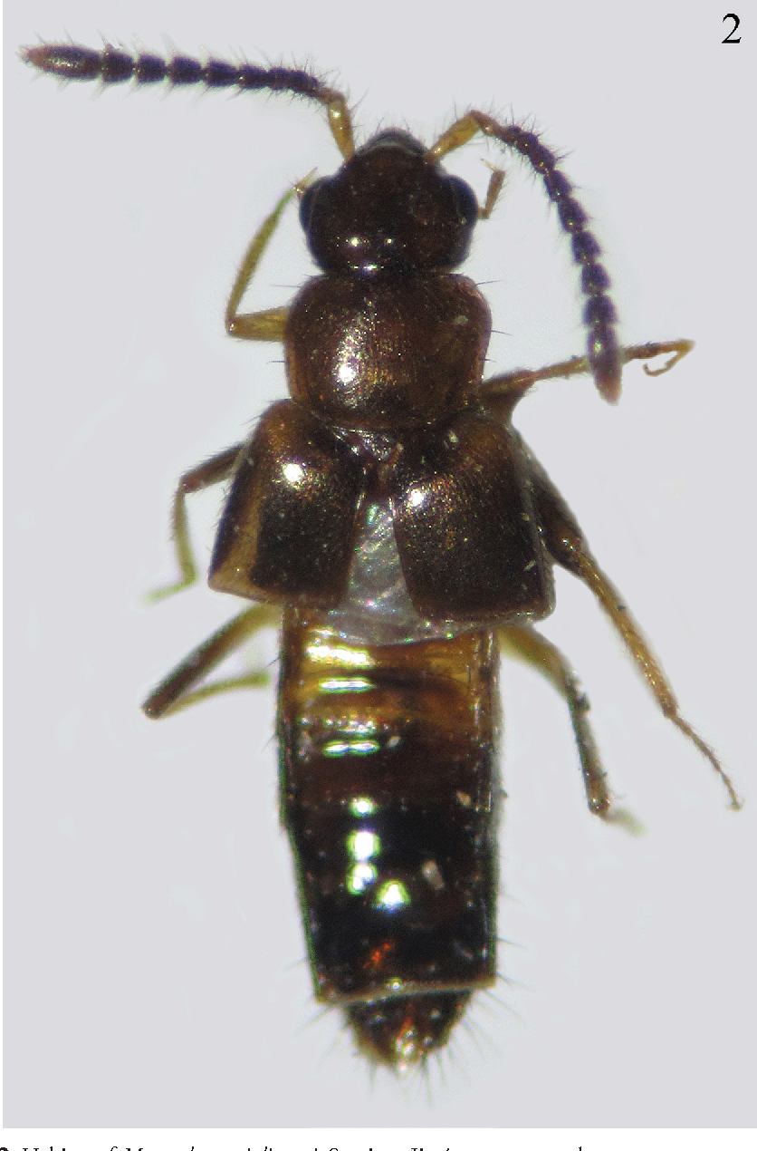 Figure 2. Habitus of Myrmedonota jaliscensis Santiago-Jiménez, sp. n., male.