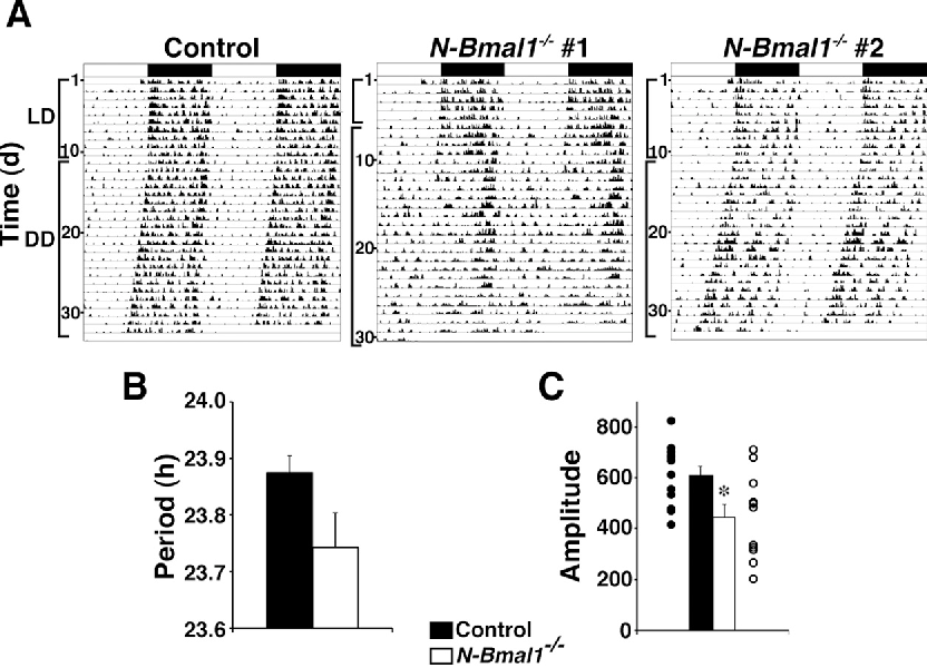 Bmal1 in the nervous system is essential for normal adaptation of figure 1 urtaz Images