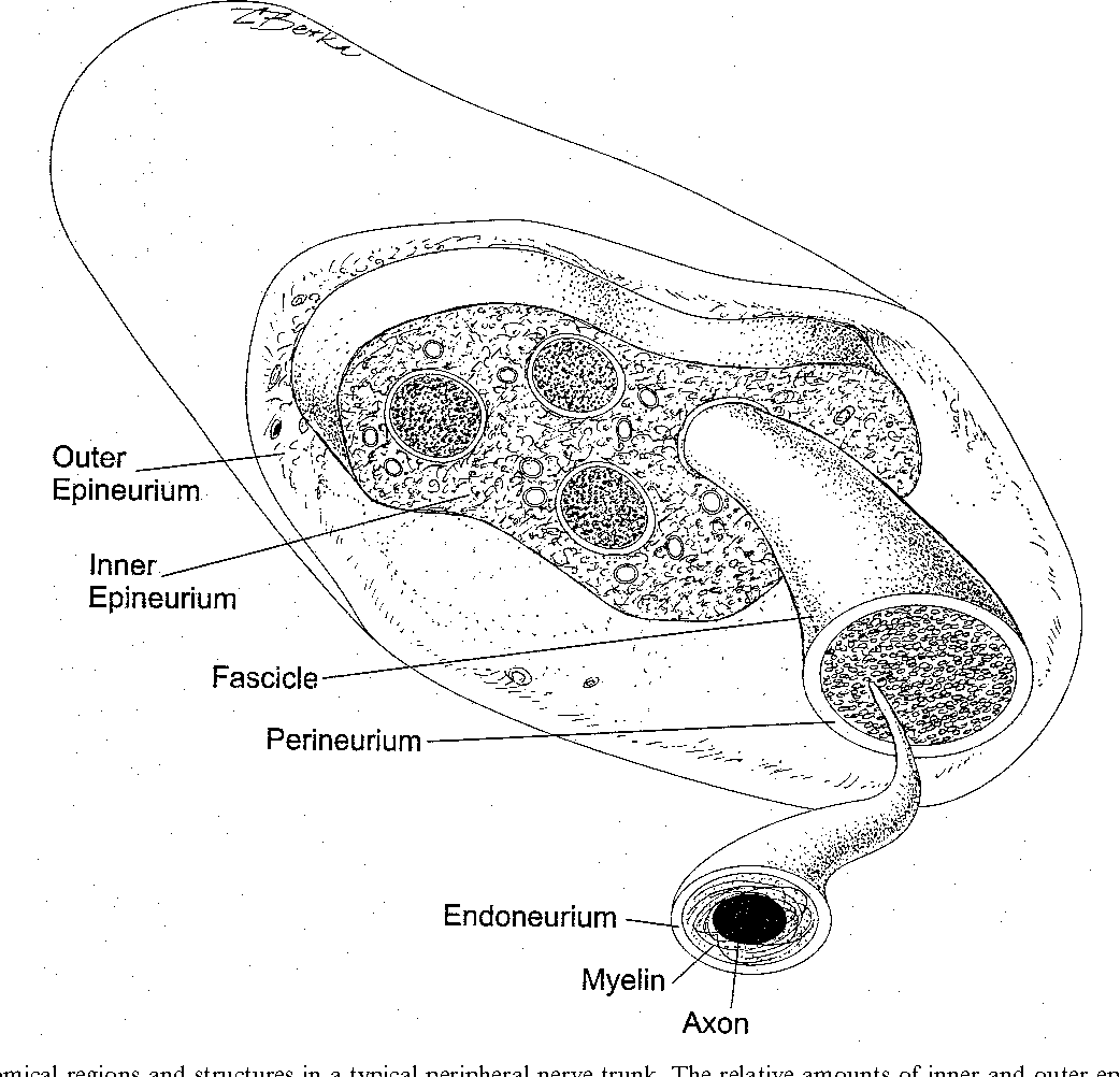 Quantitative analysis of the anatomy of the epineurium of the canine ...