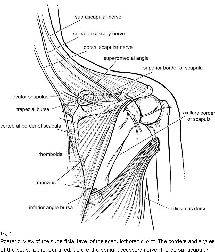 Figure 1 from Current Concepts Review Snapping Scapula Syndrome ...