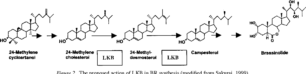 Figure 2. The proposed action of LKB in BR synthesis (modified from Sakurai, 1999).
