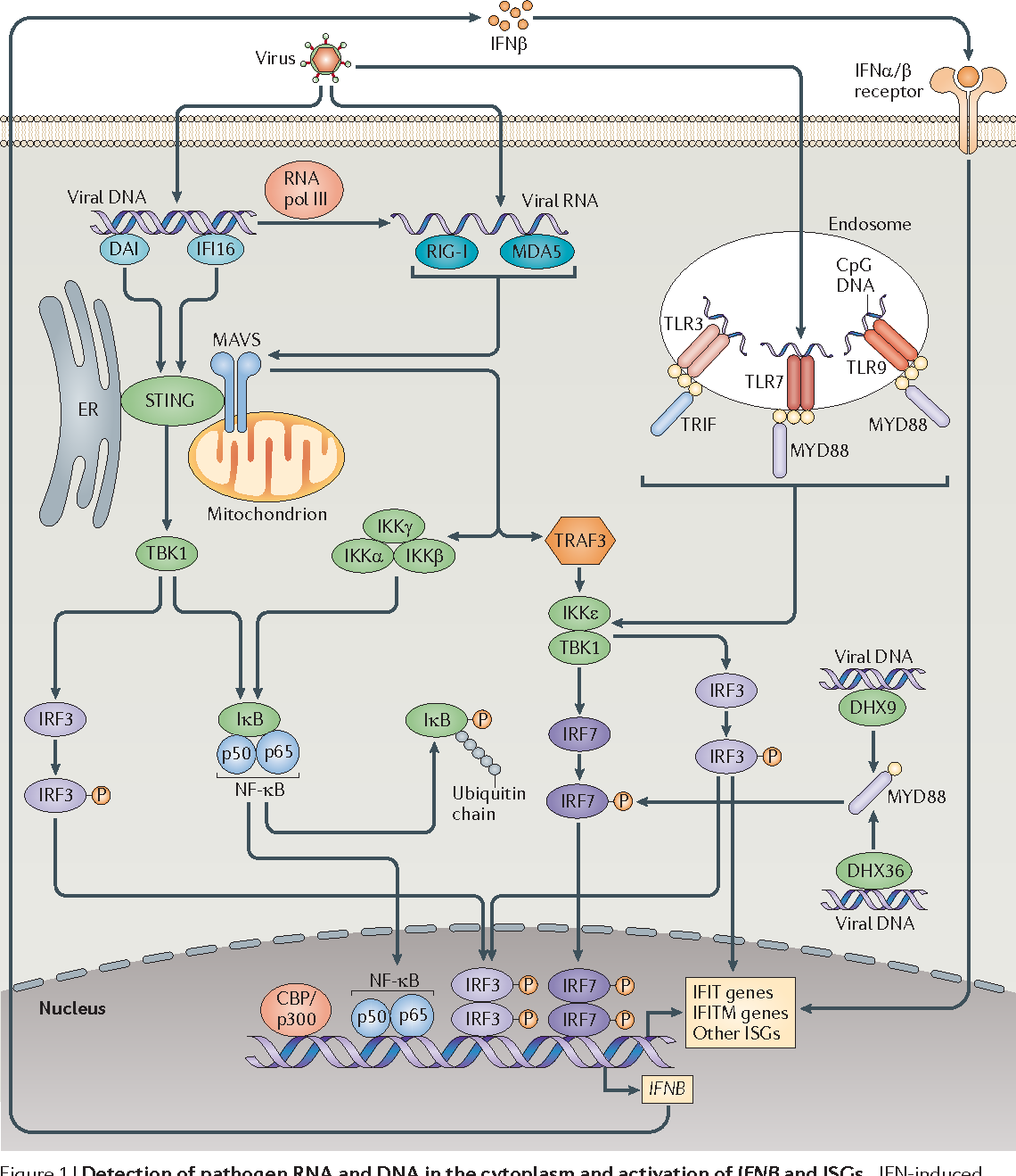 Figure 1 from The broad-spectrum antiviral functions of IFIT and