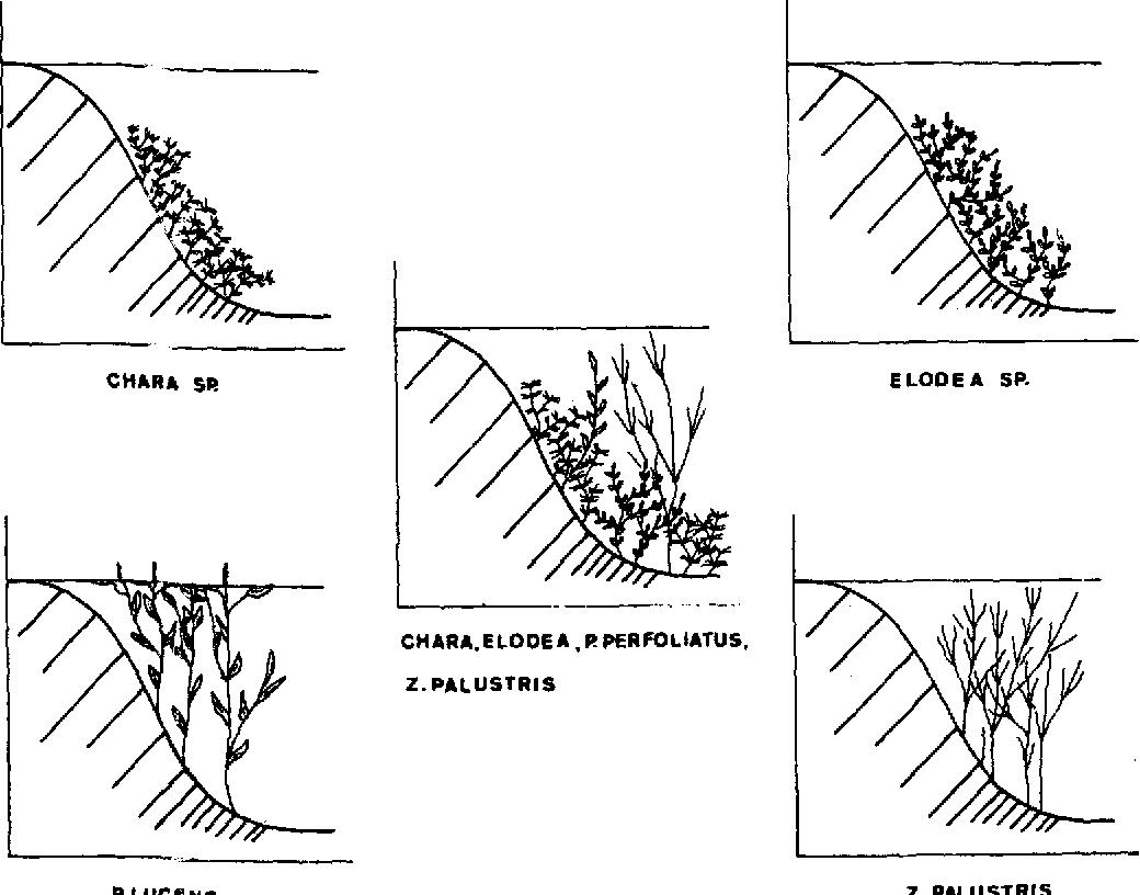 The submerged aquatic macrophytes in lake maarsseveen i species figure 2 pooptronica