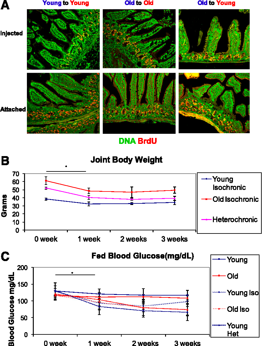 FIG. 1. Heterochronic parabiosis model. A: One parabiosed partner was injected with BrdU and the joined pair was killed after 3 h. Both the injected mouse and attached mouse were stained for DNA (green) and BrdU (red). B: Parabiosed mice demonstrated a significant decline in body weight (*P < 0.05 for Student t test and ANOVA) in all three groups, after which their weight stabilized. C: Fed blood glucose levels of connected mice (all three groups) decreased significantly after 1 week (*P < 0.05 ANOVA) and remained lower throughout the experiment (N = 5). Het, heterochronic; Iso, isochronic.