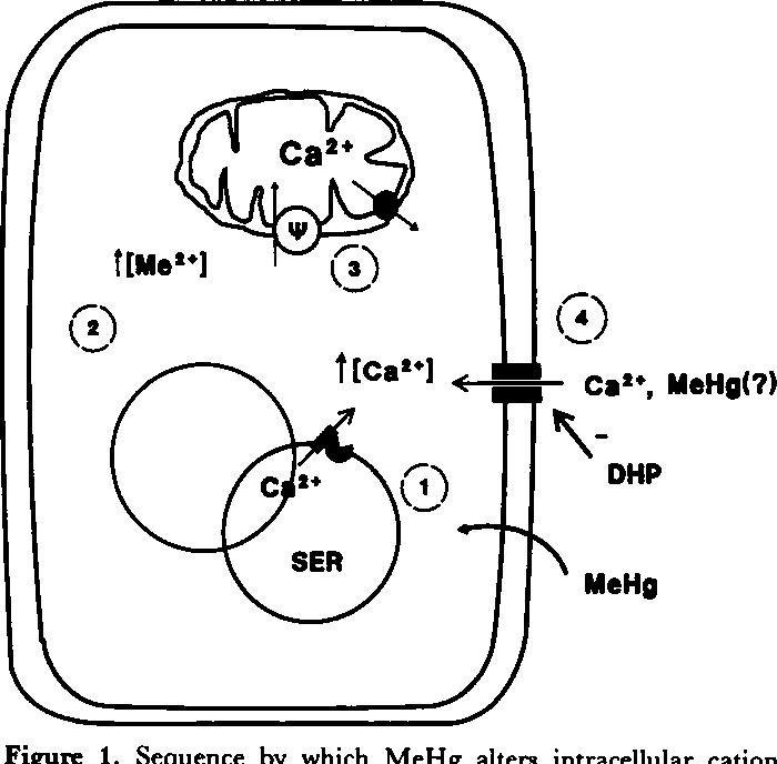 Figure 1 From Mechanisms Of Methylmercury Induced Neurotoxicity
