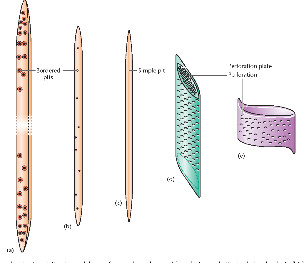 Figure 2 from Xylem Structure and Function | Semantic Scholar Xylem Tissue Function