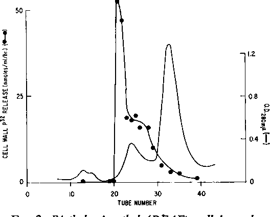FIG. 2. Diethylaminoethyl (DEAE) cellulose chromatography of Staphylococcus aureus cell-wall lytic enzyme. A sample ofAFZ enzyme (6,430 units) in 0.005 M NaH2PO4 (pH 7.0) was placed on a 2- X 22-cm column of DEAE-cellulose and eluted with 100 ml of 0.01 M NaH2PO4 (pH 7.0)-0.02 m NaCl-10-55 A ethylenediaminetetraacetate (EDTA), followed by a linear gradient generated with 150 ml ofthe same bufler and 150 ml of 0.10 M NaH2PO4 (pH 7.0)-1.0 m NaCI-10J M EDTA. Fractions ofIO ml were collected. Enzyme was assayed in the standardmanner and activity expressed as the release in nmoles of 2P per hrper ml of column eluate. Recovery of the enzyme was 2,300 units.