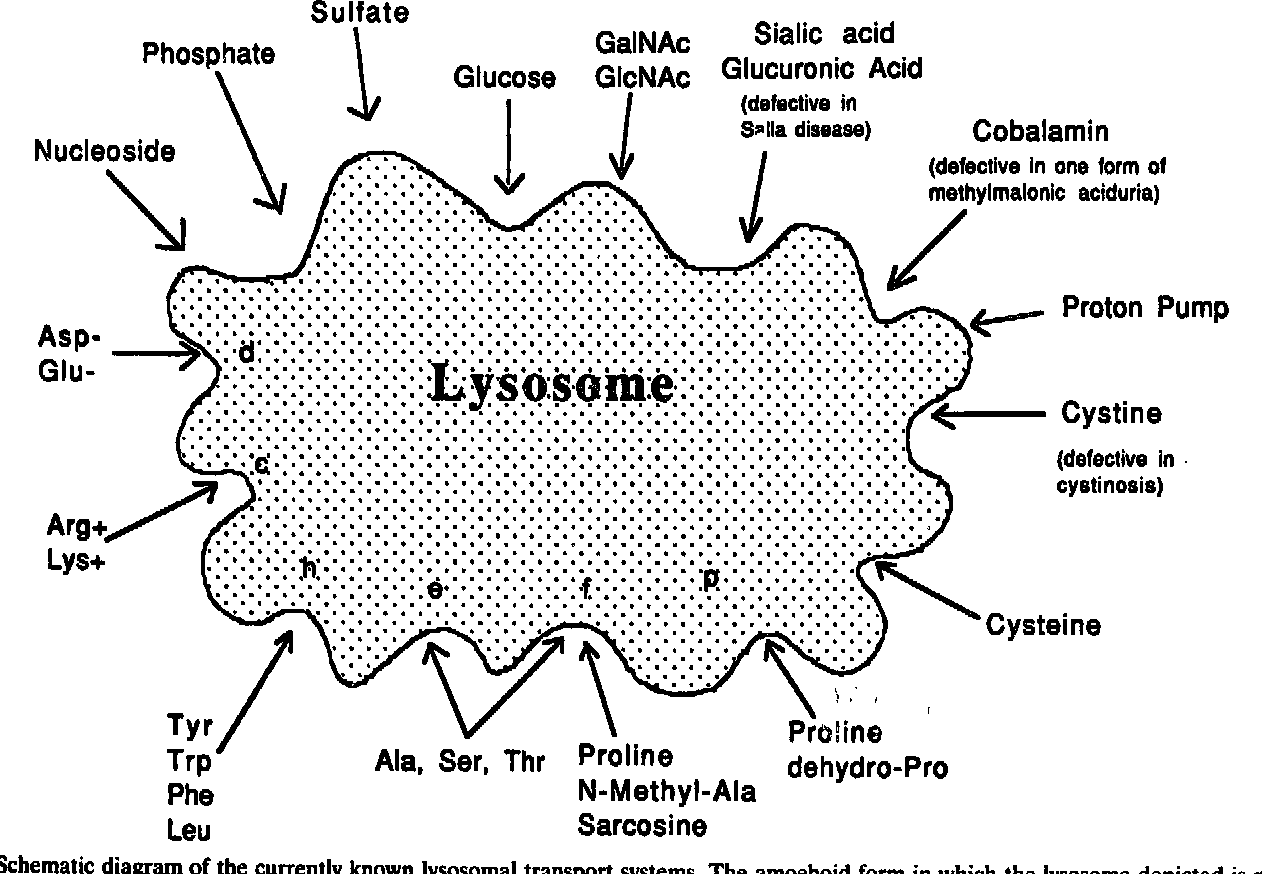 schematic diagram of the currently known lysosomal transport systems  the  amoeboid