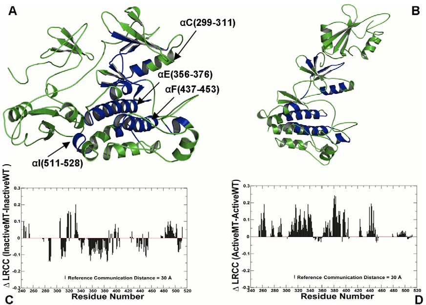 Figure 2. Structural Mapping of Allosteric Communication Profiles in the ABL Regulatory Complexes. The crystal structures of the ABLSH2-SH3 complex in the inactive, autoinhibited form (PDB ID 2FO0, colored in green) (A) and the active form (PDB ID 1OPL, colored in green) (B). Structural mapping of the catalytic domain regions involved in the allosteric communication (in blue) correspond to the peaks in the residue-based LRCC profile computed with the reference communication threshold of 30 Å. (C) The relative LRCC between the inactive ABL-T334I and the inactive ABL-WT. (D) The relative LRCC between the active ABL-T334I and the active ABL-WT. doi:10.1371/journal.pcbi.1002179.g002