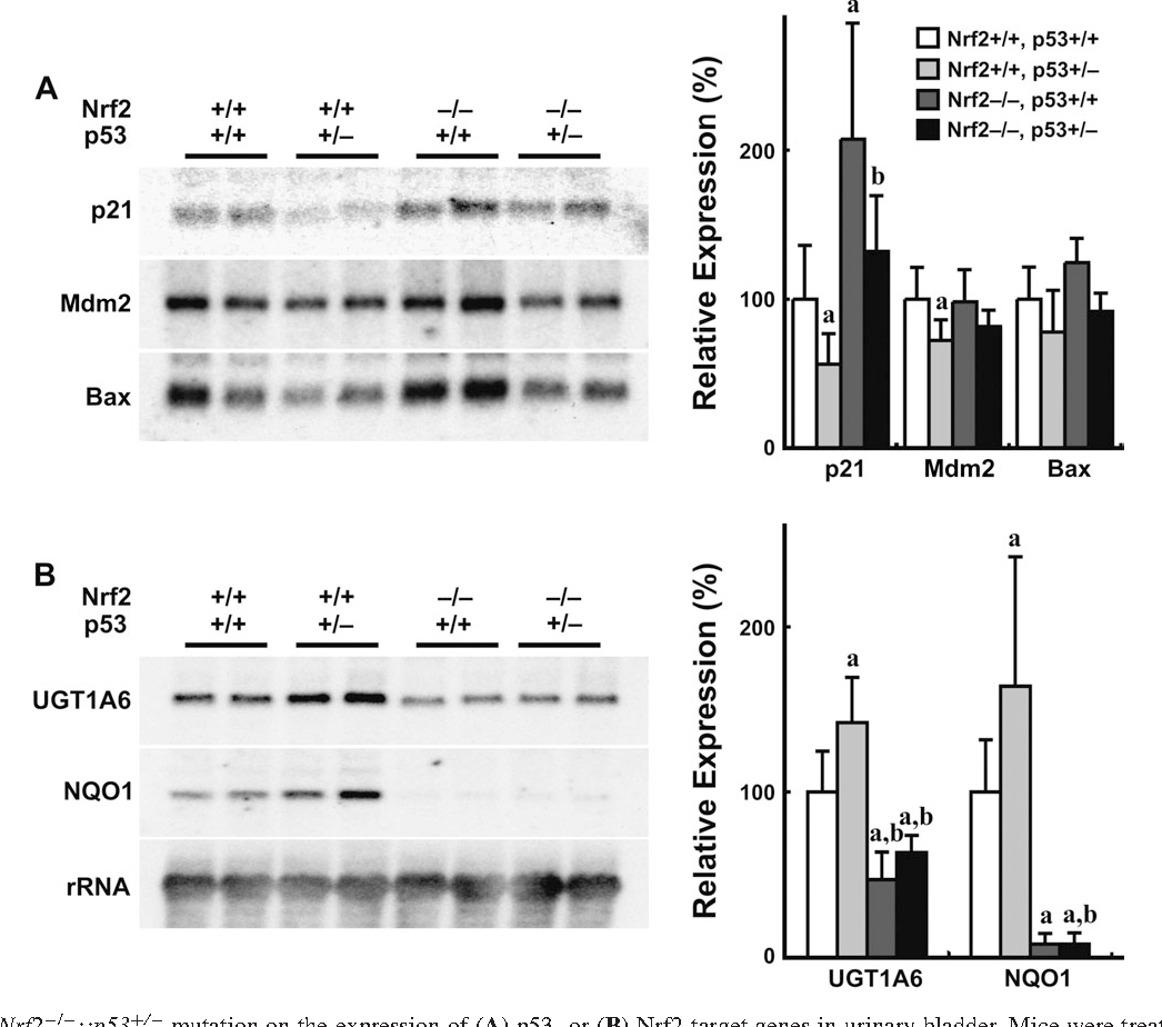 Fig. 4. Effects of the Nrf2 / ::p53þ/ mutation on the expression of (A) p53- or (B) Nrf2-target genes in urinary bladder. Mice were treated with BBN at a concentration of 0.0075% in drinking water for 2 weeks. RNA band intensities were quantified by densitometric analysis and normalized by 18S ribosomal RNA. Mean values of vehicle-treated mice were arbitrarily set as 100, and ratios were expressed as mean ± SE (n 5 4). a, P 0.05 compared with wild-type mice. b, P , 0.05 compared with p53 / mice.