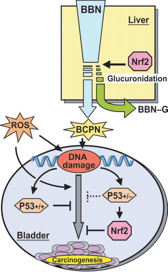 Fig. 5. Cooperative network between the Nrf2 and p53 pathways in protection against urinary bladder carcinogenesis. Nrf2-dependent increases in hepatic BBN glucuronidation reduced BBN-induced carcinogenesis by suppressing urinary BCPN excretion. Conversely, p53 regulates expression of genes to repair DNA damage and to induce apoptosis. In Nrf2–/– mice, elevated urinary BCPN concentrations lead to higher levels of DNA damage and enhance p53 activation. In p53þ/– mice, the failure to instigate DNA damage repair may lead to Nrf2 activation via the ataxia telangiectasia mutated pathway. Elevated levels of reactive oxygen species in Nrf2–/– or p53þ/ mice may contribute to increased incidence of carcinogenesis and tumors.