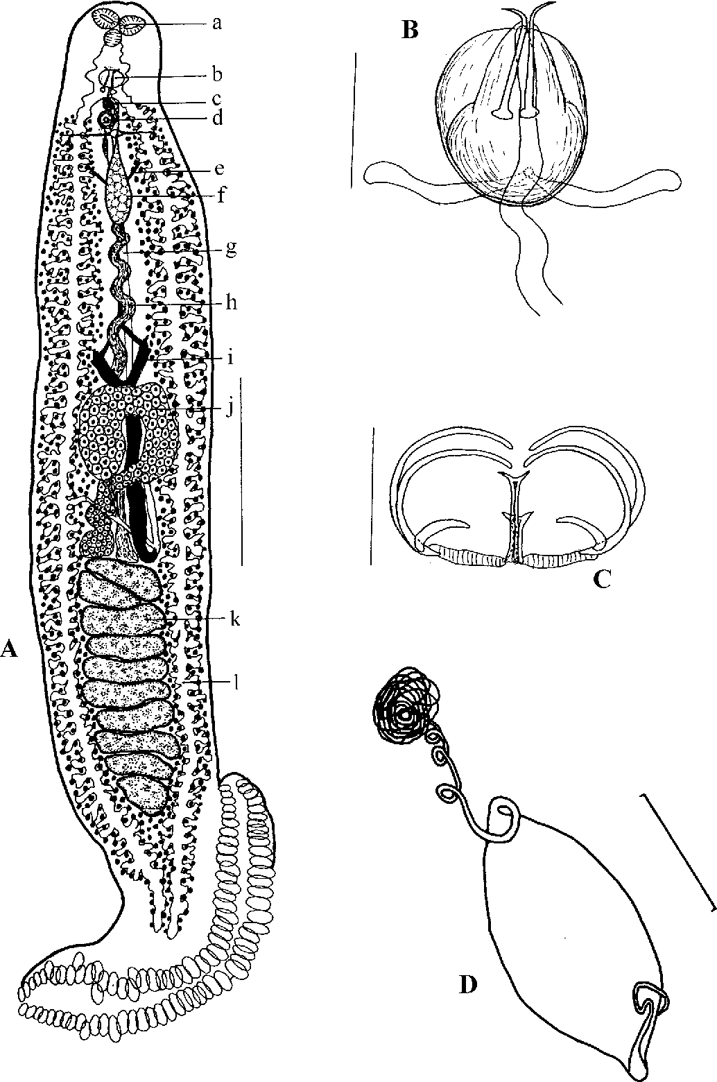 Figure 2 from Monogenea of Chinese marine fishes. XIV. Two new ...