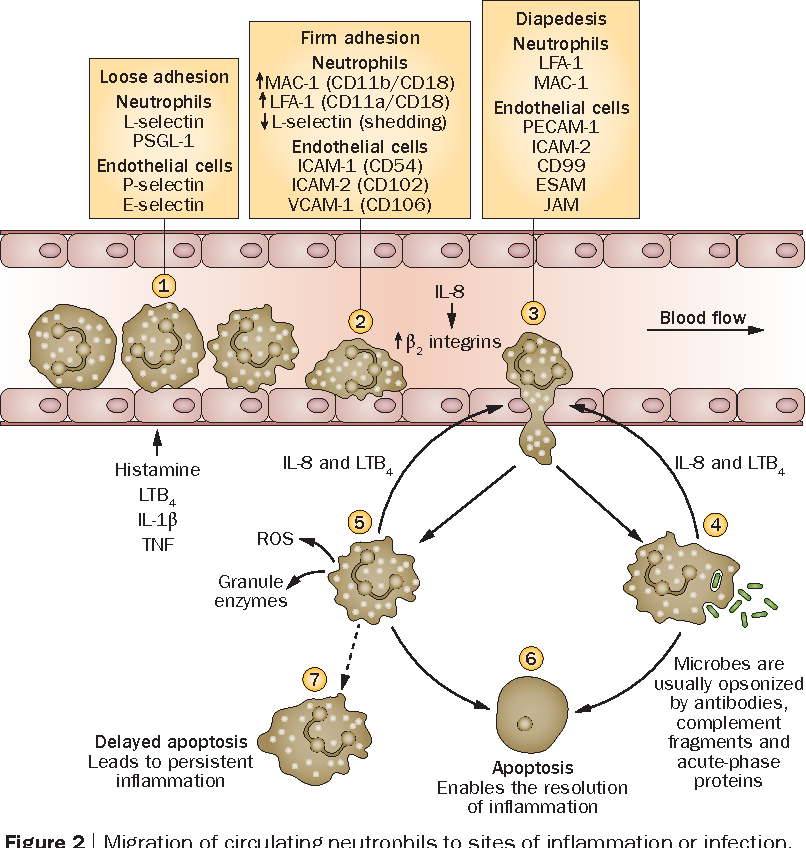Figure 2 | Migration of circulating neutrophils to sites of inflammation or infection. (1) Neutrophil rolling along the vascular endothelium involves transient interactions between selectins on endothelial cells and neutrophils. Expression ofselectins on endothelial cells is upregulated by inflammatory mediators. (2)Chemotactic factors promote firm adhesion of neutrophils to endothelial cells, mediated by increased expression of β2 integrins and shedding of L-selectin, which occur within minutes of neutrophil activation. (3) Paracellular migration of neutrophils is mediated by binding to endothelial proteins that target neutrophils to intercellular junctions and facilitate their passage through them. Transcellular migration of neutrophils also occurs (not shown). (4) Transmigrated neutrophils phagocytose and kill microbes. Activated neutrophils also generate chemoattractants (such as IL-8 and LTB4) that promote further neutrophil recruitment and amplify the acute inflammatory response. (5) Activation of neutrophils by soluble immune complexes induces release of ROS and granule enzymes. If these saturate local protective mechanisms, they can attack host tissues. Effective neutrophil apoptosis is required for the resolution of inflammation. (6) Apoptotic neutrophils are nonfunctional and express unique surface molecules enabling them to be safely removed by macrophages and other phagocytic cells. (7) Delayed apoptosis results in persistent inflammation and tissue damage, owing to continued release of ROS, granule enzymes and cytokines. Abbreviation: ROS, reactive oxygen species.