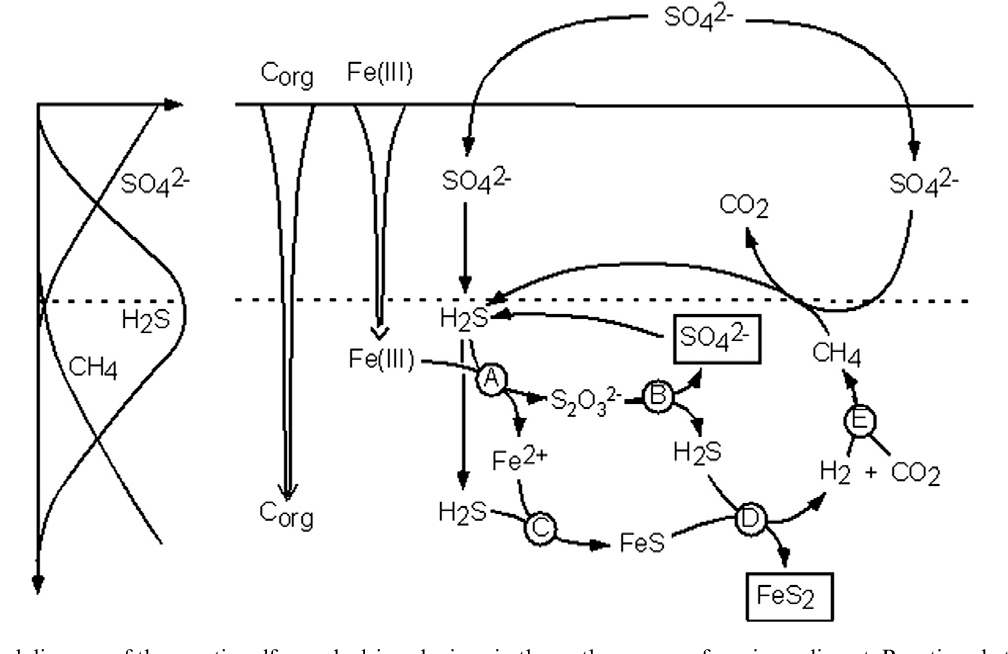 conceptual diagram of the cryptic sulfur cycle driven by iron in the