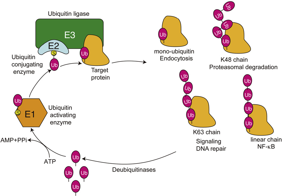 Fig. 2. The ubiquitin system and its cellular functions. Ubiquitin is conjugated to target proteins through E1 (ubiquitin activating enzyme), E2 (ubiquitinconjugating enzyme), and E3 (ubiquitin ligase) activities. Ubiquitination of proteins regulates various cellular functions depending on the type of linkage and number of conjugated ubiquitins. Finally, ubiquitins are removed by deubiquitinases and recycled.