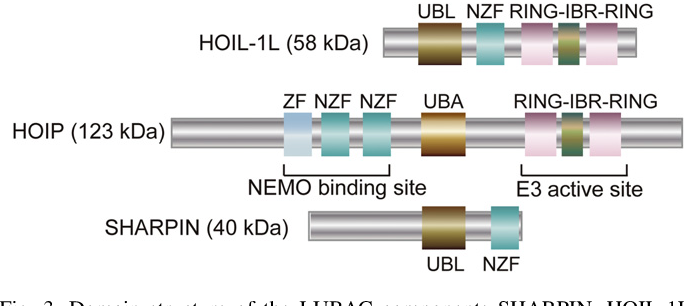 Fig. 3. Domain structure of the LUBAC components SHARPIN, HOIL-1L, and HOIP. SHARPIN, HOIL-1L, and HOIP form LUBAC. The zinc finger and RING domains of HOIP are the substrate-binding site and E3 active site, respectively. UBL; ubiquitin-like, NZF; NPl4-type zinc finger, RING; really interesting new gene, IBR; in-between RING, ZF; zinc finger, UBA; ubiquitinassociated domains.