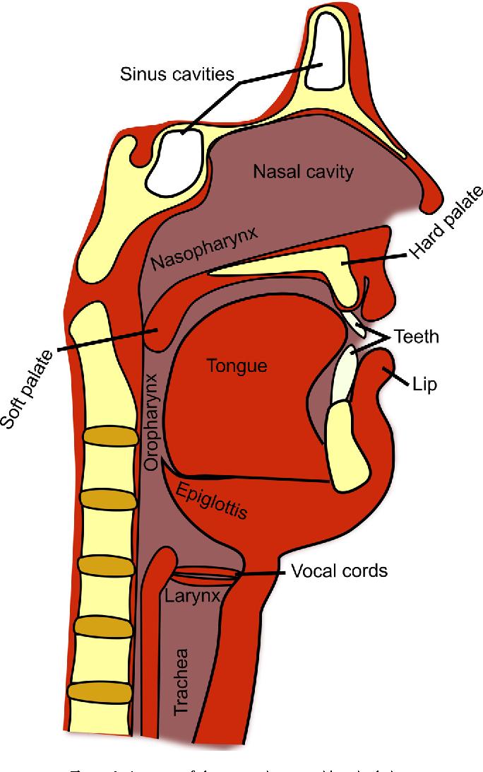 Figure 1 from Speech MRI: morphology and function. - Semantic Scholar