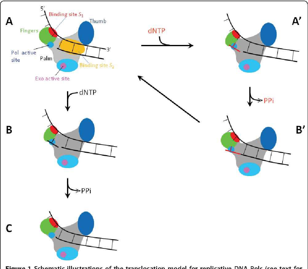 A nucleotide binding rectification brownian ratchet model for figure 1 ccuart Gallery