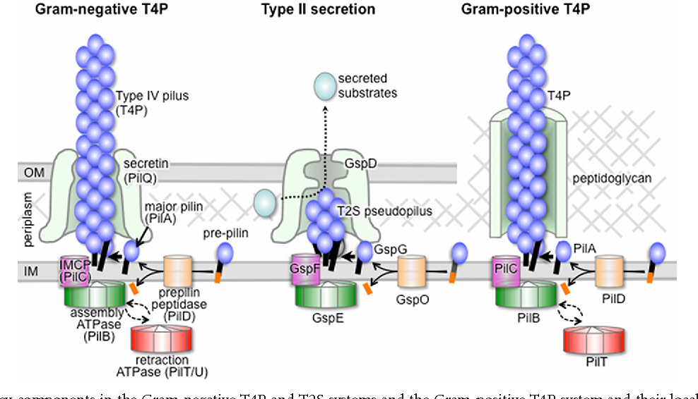 Figure 1 from type iv pili in gram positive bacteria semantic scholar fig 1 illustration of key components in the gram negative t4p and t2s systems and ccuart Images