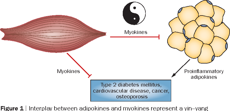 Muscles Exercise And Obesity Skeletal Muscle As A Secretory Organ