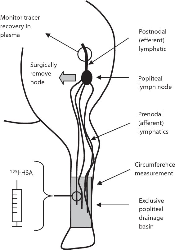 Lymphedema Development And Lymphatic Function Following Lymph Node