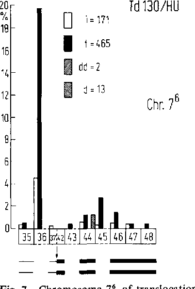 Fig. 7. Chromosome 7 ~ of translocation karyotype Td 130. The translocation of NOR and satellite of chromosome 6 (segments 36 and 37) from their original site to satellite of chromosome 7 resuited in two NORs combined tandemly in this chromosome