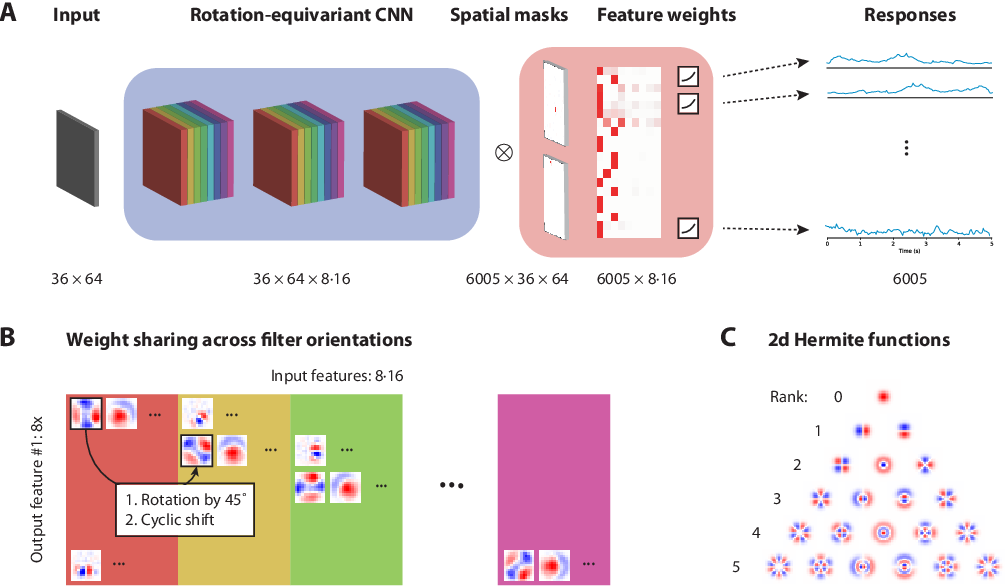Figure 1 for A rotation-equivariant convolutional neural network model of primary visual cortex