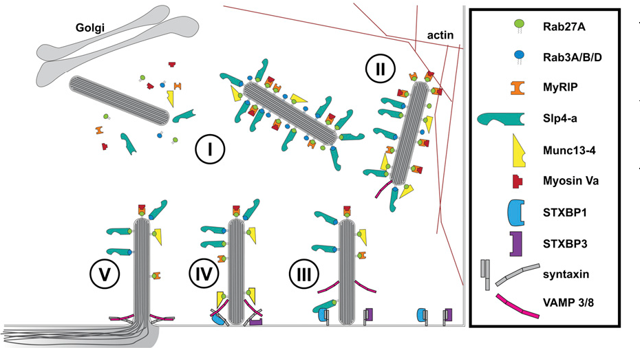Figure 7. Cartoon model of regulation of WPB exocytosis. (I) Newly formed WPBs recruit Rab proteins (Rab27A and Rab3A/B/D) and their effectors Slp4-a, Munc13-4, and MyRIP/Myosin Va.22,23,25,27-29 (II) WPBs are anchored to the actin cytoskeleton via Myosin Va and MyRIP.27,28 (III) STXBP1 links WPBs to the SNAREs (syntaxin-2/3) via Slp4-a and Rab27A, whereas STXBP3 (Munc18c) associates with syntaxin-4.46 (IV) SNARE complex assembly of syntaxins with WPBassociated VAMP 3/8,59 potentially facilitated by Munc134.25 Fusion of WPB and plasma membrane and dispersal of WPB cargo into vascular lumen.