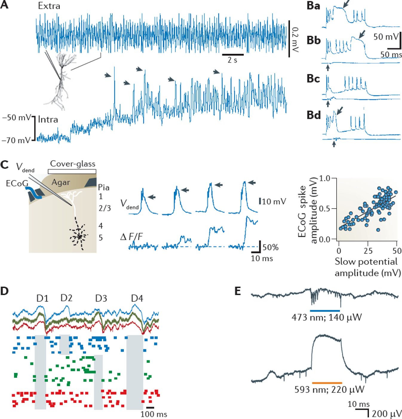 Figure 3. Non-synaptic contributions to the LFP Ca2+ spikes, disfacilitation and disinhibition contribute to the local field potential (LFP). A | Voltage-dependence of a theta-frequency oscillation in a hippocampal pyramidal cell dendrite in vivo. A continuous recording of extracellular (extra) and intradendritic (intra) activity in a hippocampal CA1 pyramidal cell is shown. The holding potential was manually shifted to progressively more depolarized levels by intradendritic current injection. The recording electrode contained QX-314 to block Na+ spikes. Note the large increase in the amplitude of the intradendritic theta oscillation upon depolarization. Arrows, putative high-