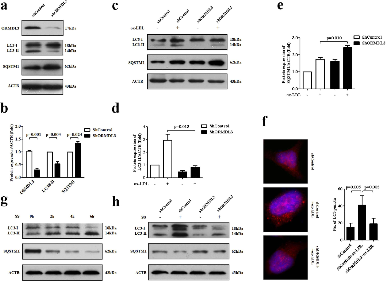 Figure 4. Knockdown of ORMDL3 suppresses basal and ox-LDL-induced autophagy. (a–b) At basal condition, in HUVECs stably transfected with ORMDL3 shRNA and control shRNA, transfection efficiency and protein levels of LC3 and SQSTM1/p62 were evaluated by immunoblot. (c–e) Immunoblot detection