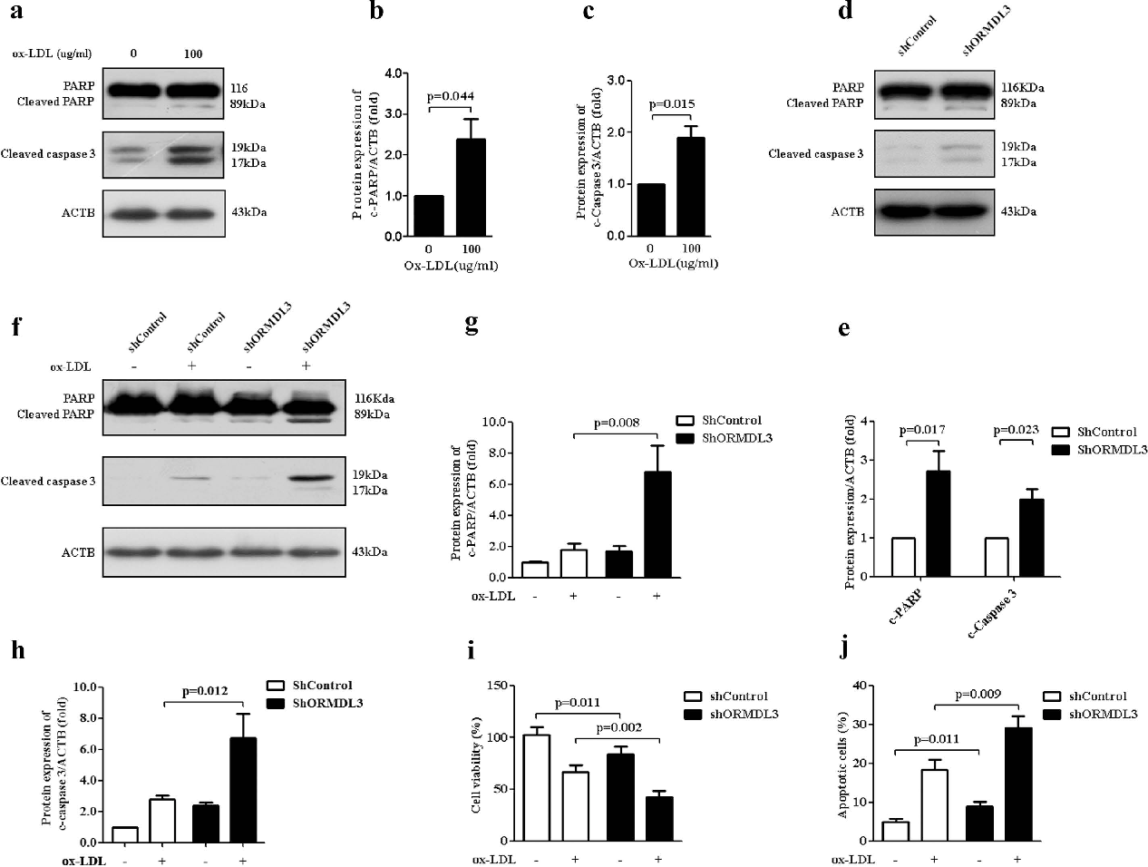 Figure 6. Knockdown of ORMDL3 promotes ox-LDL-induced apoptosis in endothelial cells. (a–c) Immunoblot detection of protein levels of cleaved PARP and caspase 3 in HUVECs treated with 100 μ g/ ml ox-LDL for 12 h. (d–e) At basal condition, in ShORMDL3 and shControl HUVECs, protein levels of