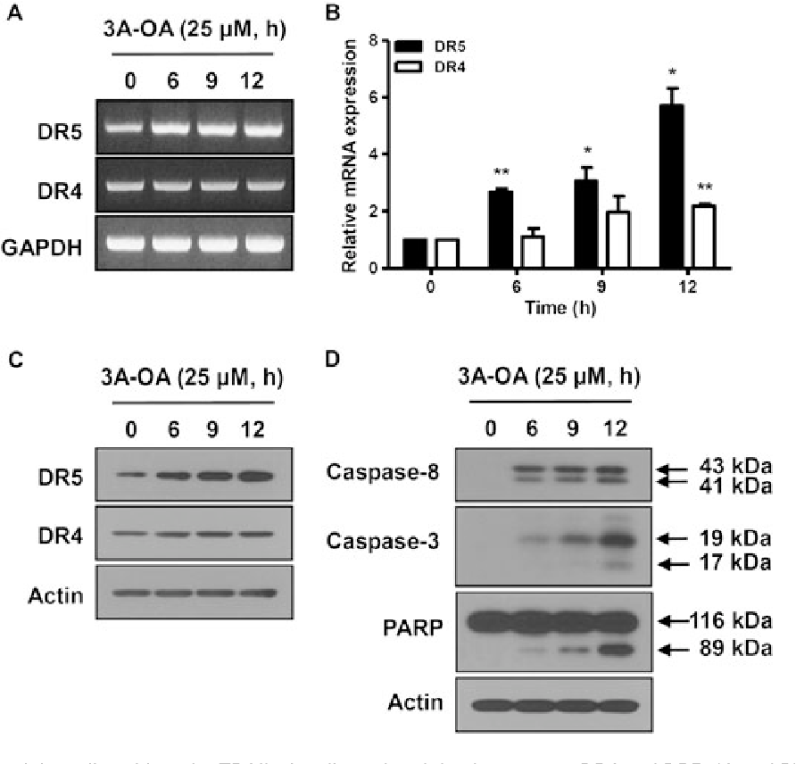 Figure 4. Effect of 3-O-acetyloleanolic acid on the TRAIL signaling-relate 25mM 3-O-acetyloleanolic acid for the indicated times. RT-PCR (A) and r DR4 transcripts. (C and D) Protein extracts were prepared from 25mM 3 DR4 proteins (C) and cleavage of caspase-8, 3, and PARP (D) were dete