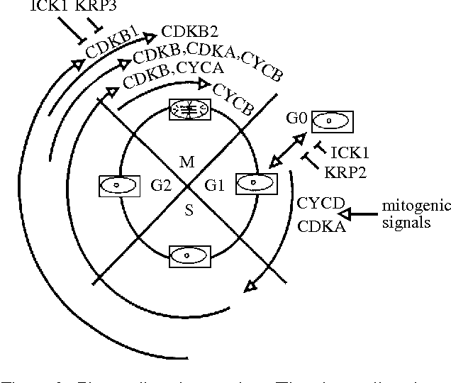 Figure 2 From Plant D Type Cyclins And The Control Of G1 Progression