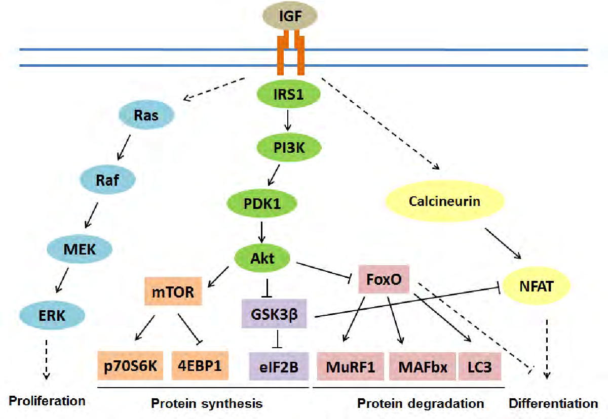 Role Of Map 4 K 4 In Skeletal Muscle Differentiation A