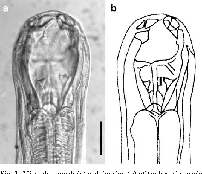 Figure 3 from First report and characterization of adult Uncinaria ...