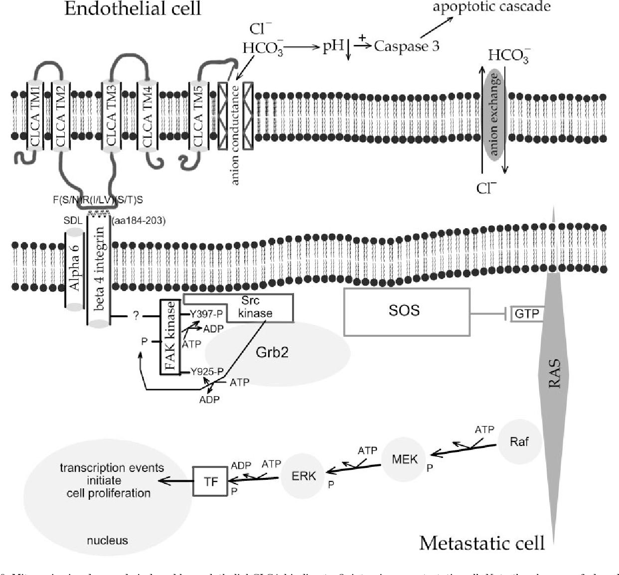 Structure And Function Of Clca Proteins Semantic Scholar Taurus Schematics 740