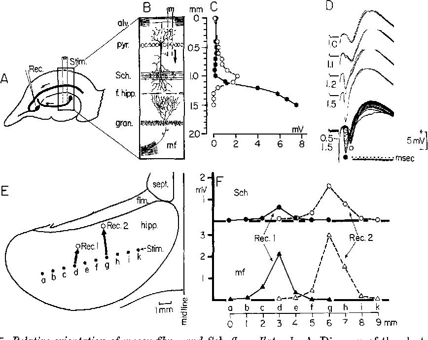 Figure 5 From Lamellar Organization Of Hippocampal Excitatory
