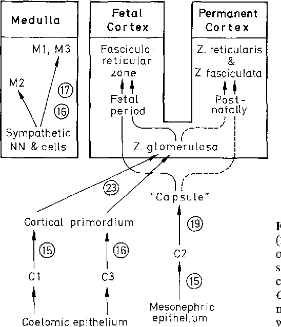 Figure 1 From The Timing And Sequence Of Events In The Development