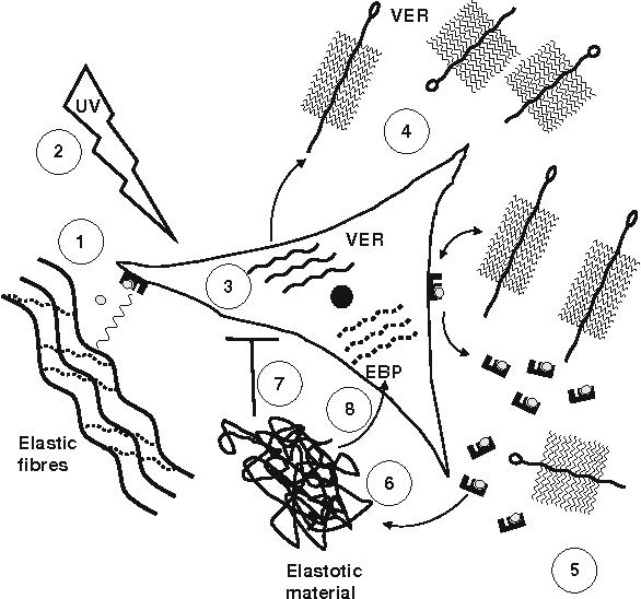 Deregulation Of Versican And Elastin Binding Protein In Solar